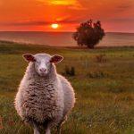koyun alırken dikkat edilmesi gerekenler