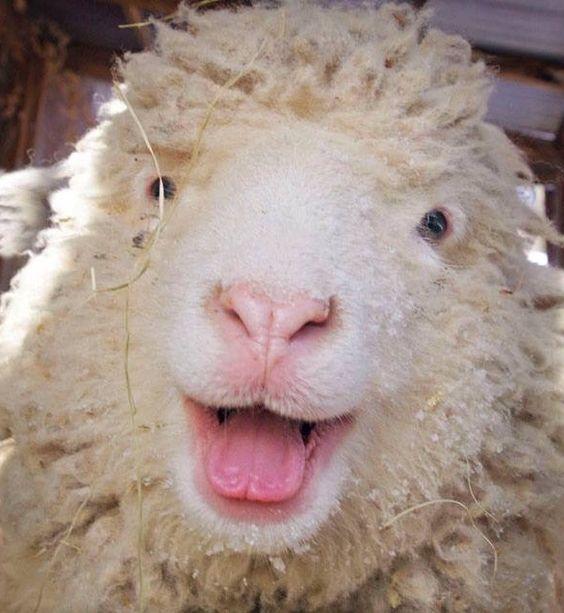 koyun ırkları