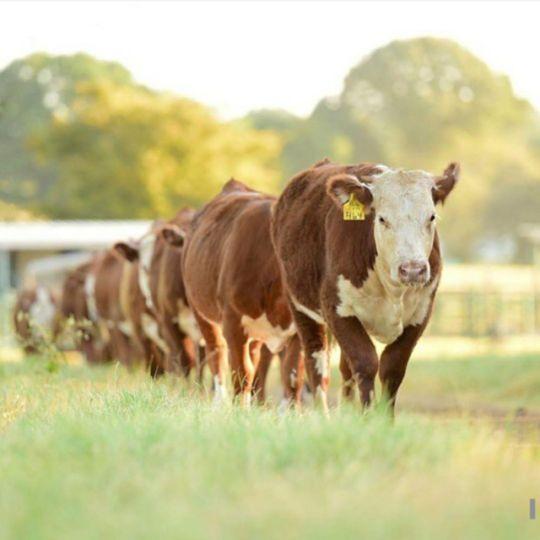 inek yetiştiriciliği nasıl yapılır