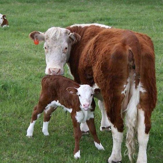 ineklerde doğum ve anne davranışları