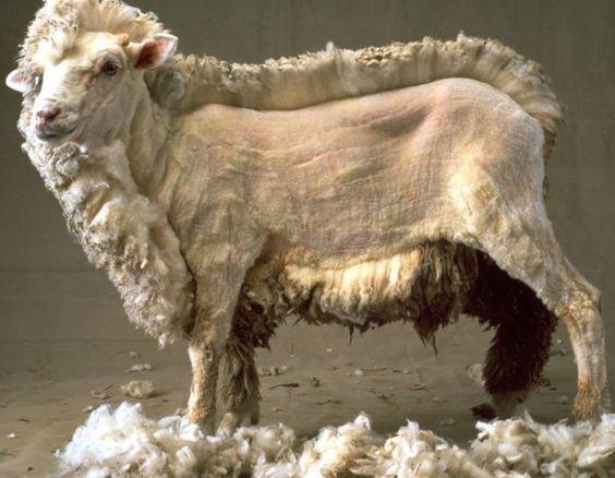koyun ürünleri nelerdir