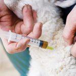 koyun hastalıkları nelerdir