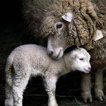 koyunların üremesi