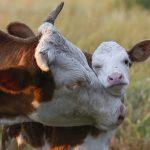 ineklerde üreme