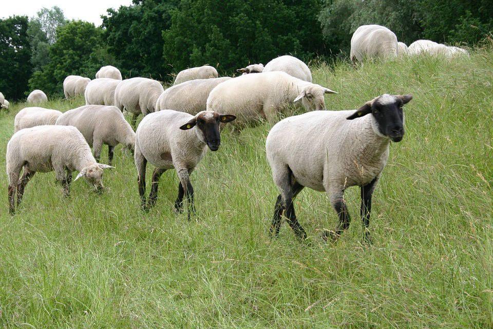 Koyun yetiştiriciliği teknikleri