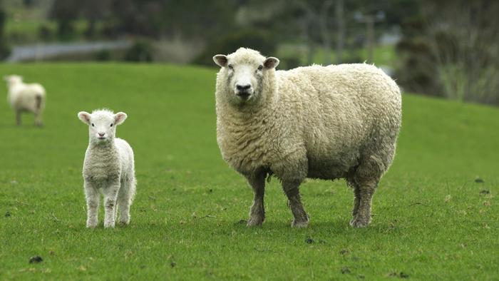 koyunlarda gebelik