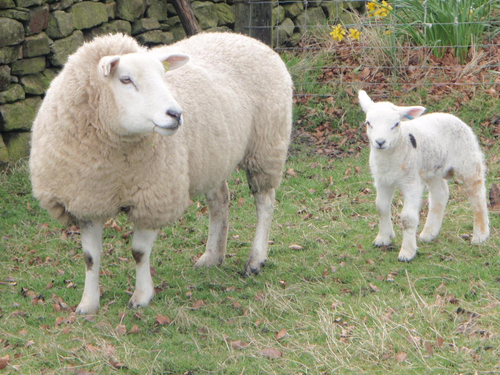 koyunlarda kızgınlık belirtileri