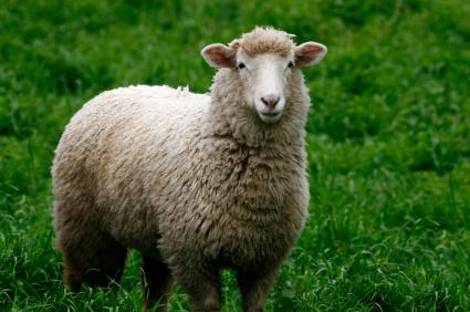 300 koyun