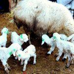 koyunlarda doğum öncesi