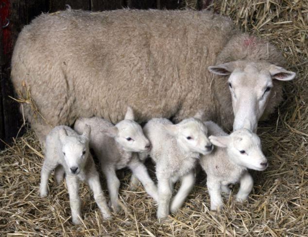 koyunlarda doğum