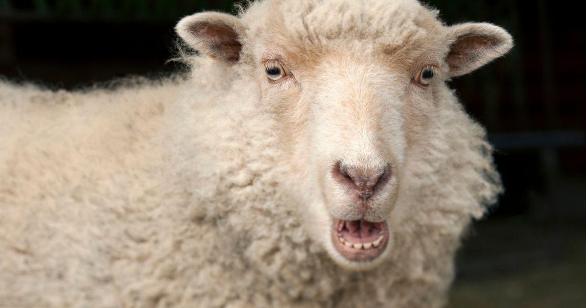 koyunlarda yaş