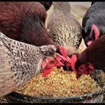 yumurta tavuklarının yemlenmesi