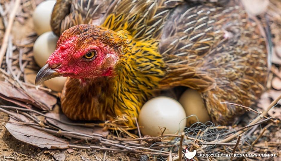tavukların yumurtlamasını arttırmak