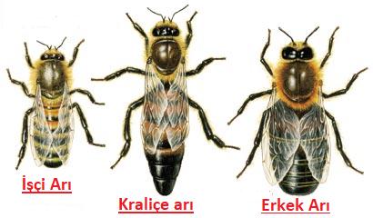 arıları ayırt etme - Kraliçe Arı