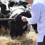 hayvanlarda şap hastalığı