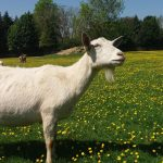 keçi yetiştiriciliğinin avantajları