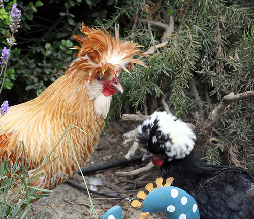 tavuklarda tüy dökümü