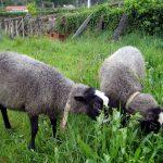 romanov koyunu2 150x150 - Tavukçuluğa Başlayacaklara Tavsiyeler