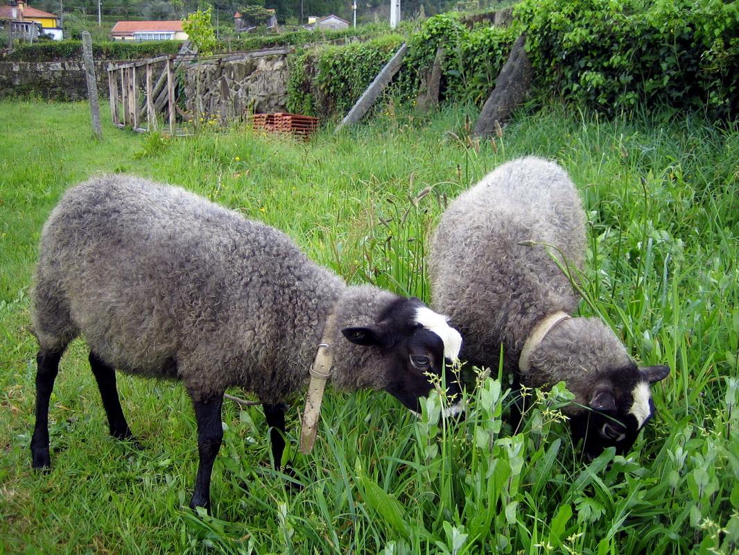 romanov koyunu2 - Romanov Koyun Irkının Özellikleri