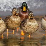 ördeklerde cinsiyet