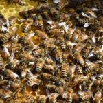 arılar açlıktan ölür mü