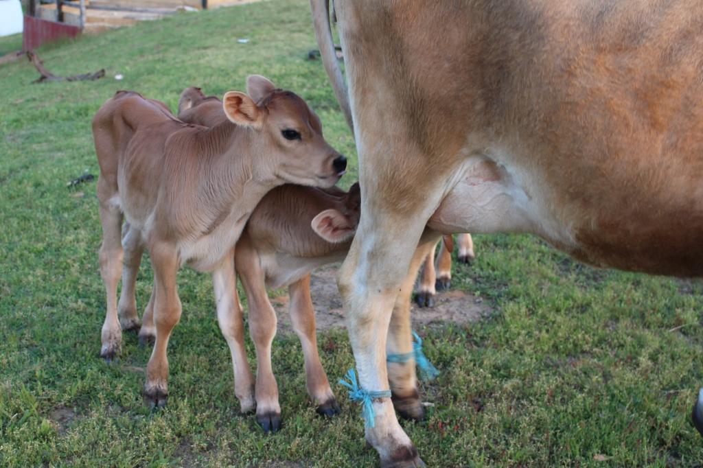 ineklerde gebelik