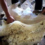 koyunlarda kırkım