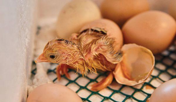 tavuklarda kuluçka