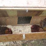 tavuklarda folluk seçimi