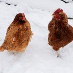kışın nasıl tavuk beslenir 150x150 - Kaliteli Köy Yumurtası Alabilmek İçin Tavuk Beslenmesi
