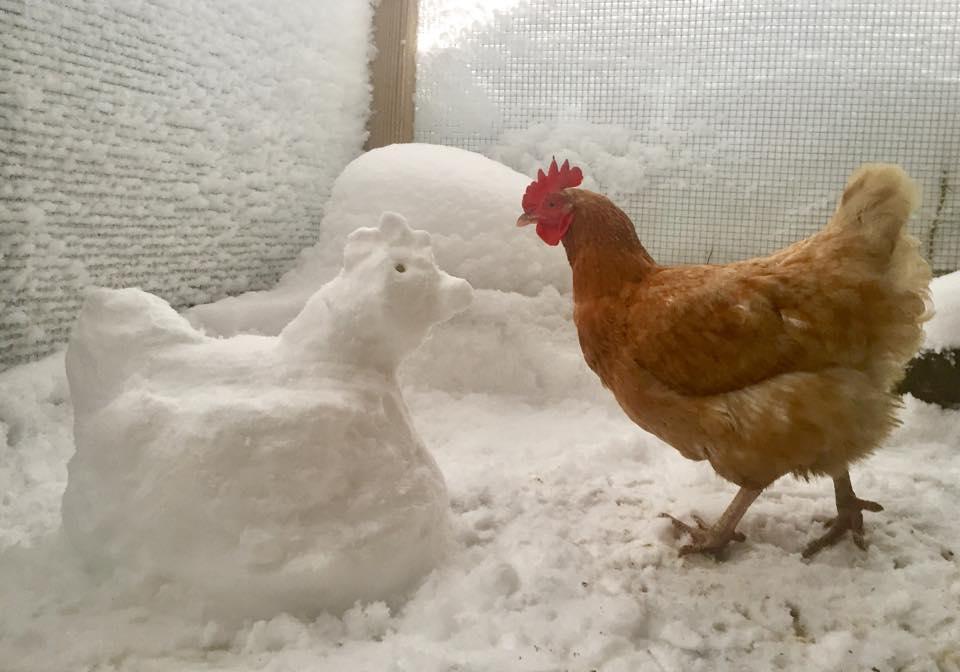 kışın tavuk bakımı - Kışın Tavuk Bakımı