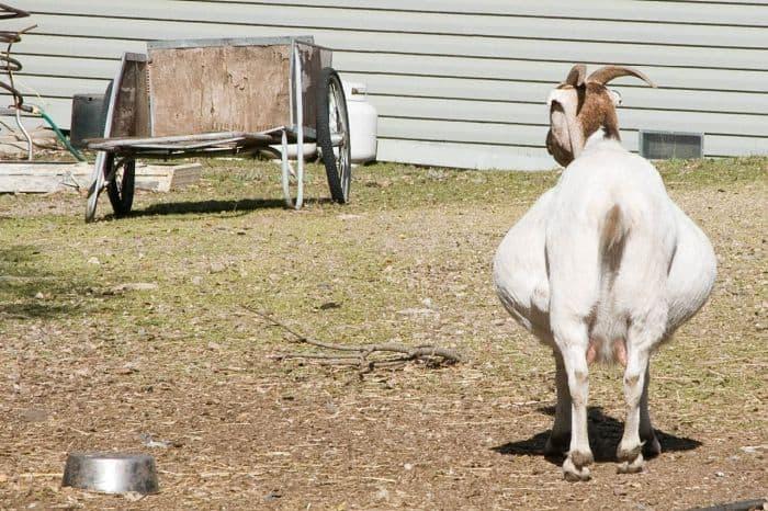 hamile keçi - Hamile Keçi Nasıl Anlaşılır?