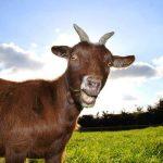 keçi yetiştiriciliği