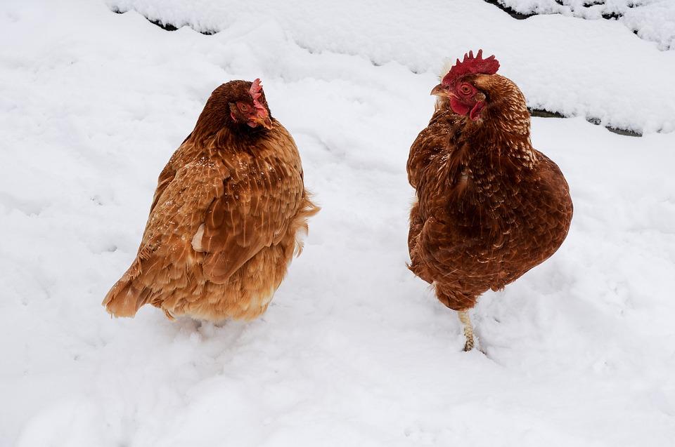 kışın nasıl tavuk beslenir - Kışın Tavuk Bakımı