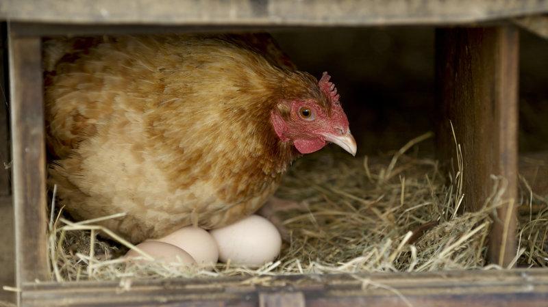 tavuklar neden yumurtlamaz